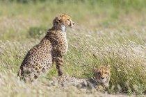 Botswana, Kgalagadi Transfrontier Park, Cheetahs, Acinonyx Jubatus — Stock Photo