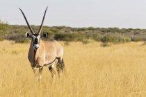 Botswana, Kalahari, Riserva centrale di caccia Kalahari, Kudu, Tragelaphus strepsiceros — Foto stock