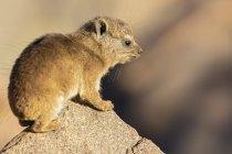 Намібія, Keetmanстріляють, рок дассі, Проавіа капуйський, молоді тварини — стокове фото