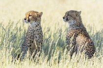 Botswana, Parco Transfrontaliero di Kgalagadi, Ghepardi, Acinonyx Jubatus — Foto stock