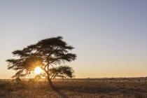 Африка, Ботсвана, Центральный заповедник Калахари, Зонтик Торн Акация, Акация tortilis на восходе солнца — стоковое фото