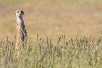Botswana, Parco Transfrontaliero di Kgalagadi, Kalahari, Meerkat watching, Suricata suricatta — Foto stock
