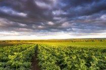 Reino Unido, Escocia, East Lothian, campo de patatas - foto de stock