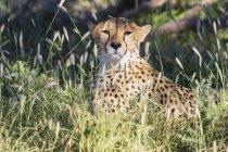Botswana, Parque Transfronterizo Kgalagadi, Guepardo, Acinonyx Jubatus - foto de stock