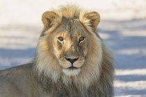 Botswana, Kgalagadi Transfrontier Park, Löwe, Panthera leo, männlich — Stockfoto