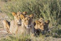 Botswana, Parque Transfronterizo de Kgalagadi, orgullo de los leones - foto de stock