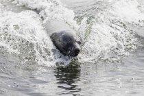 Namibia, Walvis Bay, ritratto della foca mantello nuotatore — Foto stock