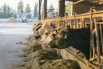 Vacas no estábulo em uma exploração agrícola — Fotografia de Stock