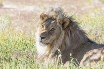 Botswana, Parco Transfrontaliero di Kgalagadi, leone, Panthera leo, maschio — Foto stock