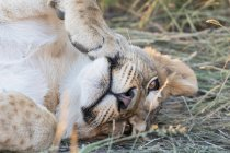 Botswana, Kgalagadi Transfrontier Park, lion, Panthera leo, young animal lying — Stock Photo