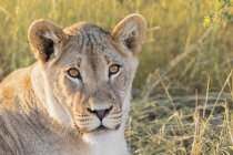 Botswana, Parco Transfrontaliero di Kgalagadi, Leonessa, Panthera leo — Foto stock