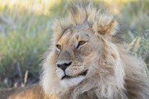 Botswana, Kgalagadi Transfrontier Park, lion, Panthera leo, mâle — Photo de stock