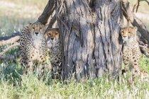 Ботсвана, Kgalagadi Transfrontier парку, гепардів, Аінонікс jubatus — стокове фото