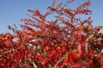 Common Barberry tree and blue sky — Stock Photo