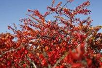 Crespino comune e cielo blu — Foto stock