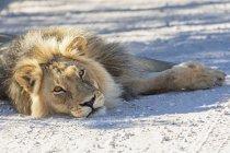 Botswana, Parco Transfrontaliero di Kgalagadi, leone, Panthera leo, maschio, sdraiato sulla strada di ghiaia — Foto stock