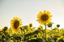 Champ de tournesols au coucher du soleil — Photo de stock
