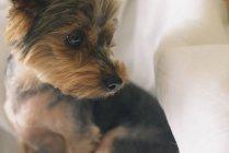 Portrait of yorkshire terrier looking sideways — Stock Photo