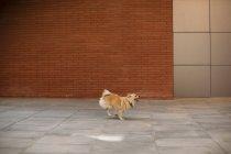 Chien jouant avec la langue dehors courir sur la rue — Photo de stock
