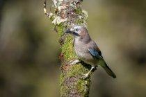 Portrait of Eurasian jay on tree trunk - foto de stock