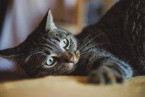 Портрет кота Тэбби, который что-то смотрит — стоковое фото