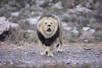 Південна Африка, Акіла приватна гра заповідник, Лев, пантери Лева — стокове фото