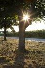 Дерево на дороге, подсолнечное поле против вечернего солнца — стоковое фото
