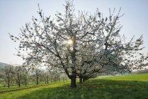 Switzerland, árvores de cereja de florescência em um prado no luminoso — Fotografia de Stock