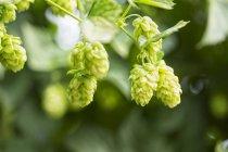 Hop cone, Humulus lupulus — Stock Photo