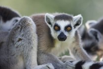 Close-up of ring-tailed lemur on blurred background — Stock Photo