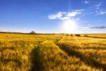 Regno Unito, Scozia, East Lothian, campo di orzo con piste al tramonto — Foto stock
