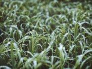 Крупним планом лука з краплями роси — стокове фото