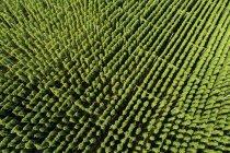 Хоп-поле, Гумулус лупулус — стоковое фото