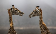 South Africa, Aquila Private Game Reserve, Giraffes, Giraffa camelopardalis, face to face — Foto stock