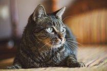 Портрет тэбби-кота дома — стоковое фото