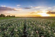 United KIngdom, East Lothian, flowering potato field, Solanum tuberosum, at sunset — Stock Photo
