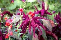 Fermeture des plantes Amaranth le jour — Photo de stock