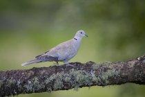 Eurasian collared dove on tree trunk - foto de stock