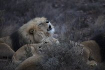 Південна Африка, Touws річка, Акіла приватна гра заповідник, леви, пантери Лева — стокове фото