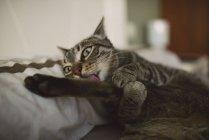 Лживая кошка облизывает лапу — стоковое фото