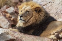 Afrique du Sud, Aquila Private Game Reserve, Lion, Panthera leo — Photo de stock