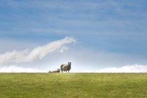 Nova Zelândia, Ilha do Norte, Ovelhas no prado — Fotografia de Stock