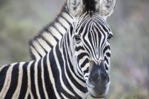 South Africa, Aquila Private Game Reserve, Zebra, Equus quagga — стоковое фото