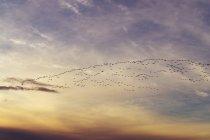 Großbritannien, Schottland, East Lothian, Aberlady Nature Reserve, Rosafußgänse, Anser brachyrhynchus — Stockfoto