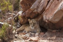 Південна Африка, Акіла приватна гра заповідник, левиця, пантери Лева — стокове фото
