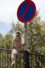 Gibraltar, Barbary macaque sitting beside traffic sign — Stock Photo