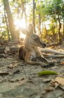 Australien, Queensland, Makrele, Cape Hillsborough Nationalpark, Känguru ruht im Wald bei Sonnenaufgang — Stockfoto