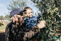 Senior man and grandson picking olives from tree — Stock Photo