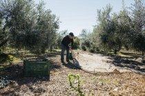 Senior man harvesting olives in orchard — Stock Photo