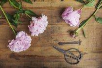 Peonie e forbici rosa su legno — Foto stock